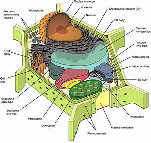 Diagrammatic Representation Of A Generalized Plant Cell