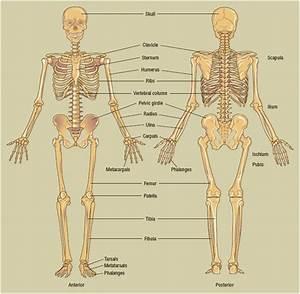 Diagram Skeletal System Joints