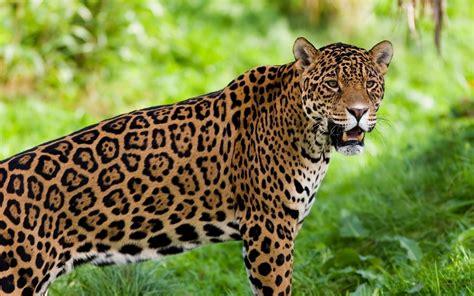 Animali In Gabbia - juma il giaguaro animali e uomini in gabbia l indro