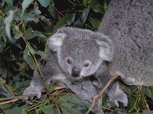 The Koala: An Australian Icon! Fifteen Fun Facts.