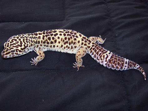 do leopard geckos shed their leopard gecko shedding problems pethelpful