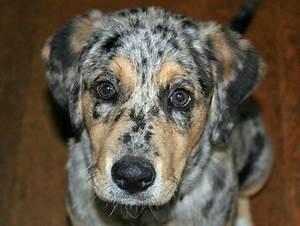 Aussiedor (Australian Shepherd-Labrador Retriever Mix ...