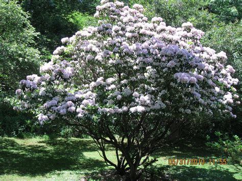 pictures of mountain laurel shrubs the news from owl hollow an abundance of mountain laurel the value of a friend