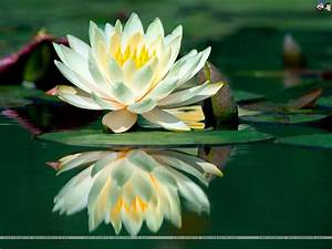 Lilies Wallpape... White Water Lily Quotes