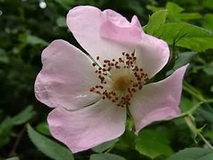 Wilde Triebe Rosen : gedicht die wilde rose ~ Lizthompson.info Haus und Dekorationen