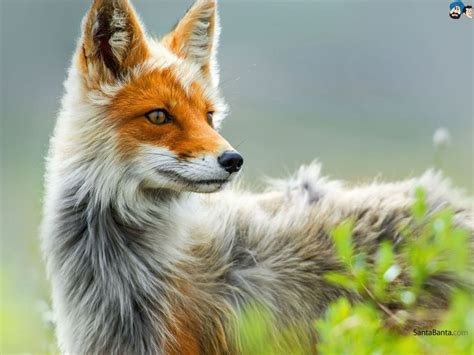 Wallpaper Fox Animal - foxes wallpaper 7 animals foxes and animal