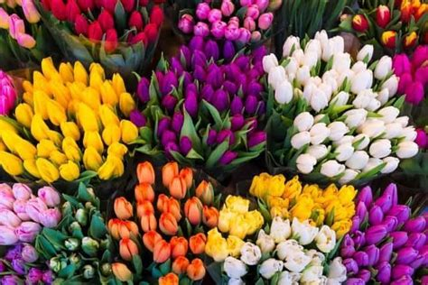 Bulbi Tulipani Quando Piantarli by Tulipani Bulbi Quando Piantarli Coltivazione E Come
