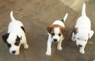 Parsons Jack Russell Puppies for Sale