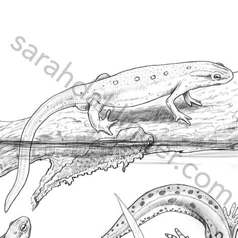 eastern newt coloring eastern newt coloring