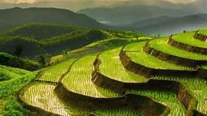 Diagram Of Rice Plant
