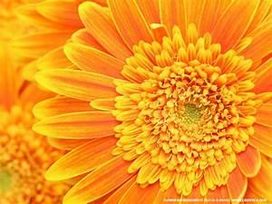 Flowers Wallpapers: Orange Flowers Wallpapers