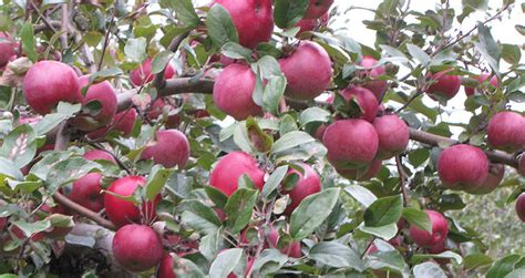 Fruit Trees In New England  Mcguinness Tree Service
