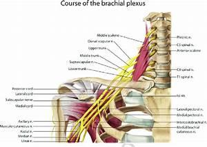 1 Brachial Plexus Anatomy  Image Published Under License