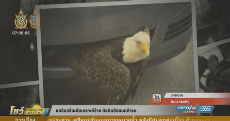 นกอินทรีมะกันเคราะห์ร้าย ตัวติดกันชนหน้ารถ : PPTVHD36