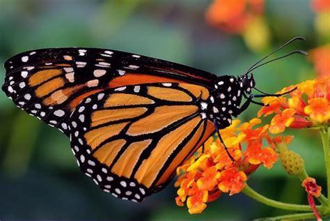 combien de temps vit un papillon camille 10 ans le