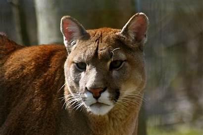 Puma Rainforest Animal Facts Animals Tropical Freeimages