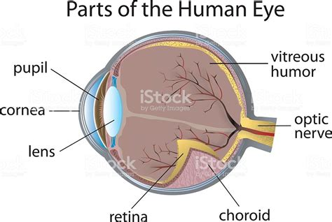 diagram   human eye  parts labeled stock