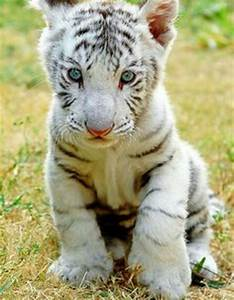 lions in tigers on Pinterest | White Tigers, Black Lion ...