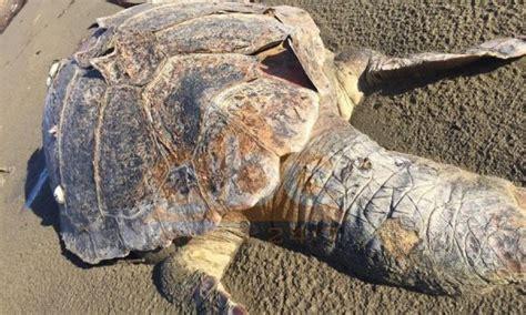Gjendet në Zvërnec breshka 145 cm - Lajmet e fundit - Zëri