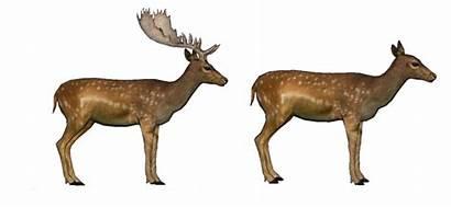 Deer Fallow Persian Deviantart