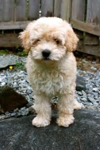 Mini Wheaten Terrier Poodle Mix