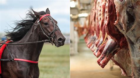 australian racehorses slaughtered meat being killed vice thoroughbred