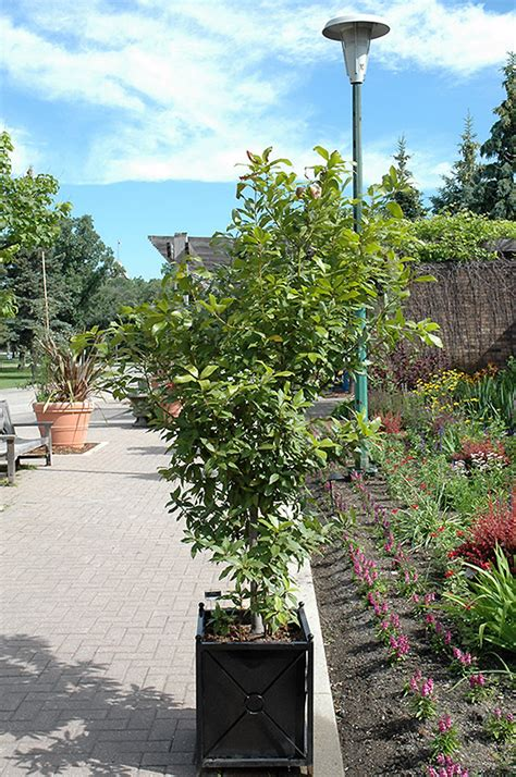 Sweetbay Nursery by Sweet Bay Laurus Nobilis In Milwaukee Brookfield