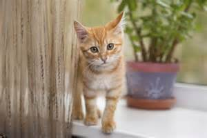 l arriv 233 e du chaton