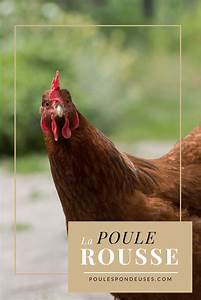 Comment élever Des Poules Pondeuses : poule rousse tout savoir sur cette poule fermi re guide pour lever des poules dans son jardin ~ Dode.kayakingforconservation.com Idées de Décoration