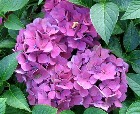 what is a hydrangea flower flowers for flower lovers hydrangea flowers pictures