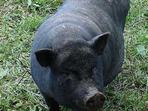 jeux en ligne de cuisine le cochon nain un nouvel de compagnie