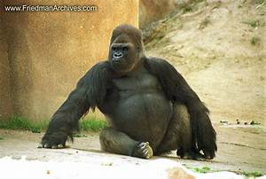 Image Gallery Largest Gorilla