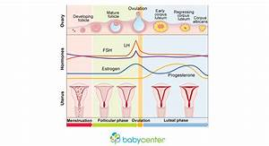 Menstrual Cycle Phases Hormones