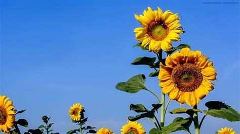 Sonnenblumen Auf Dem Feld Wallpaper 1920 X 1080px Stilkunstde
