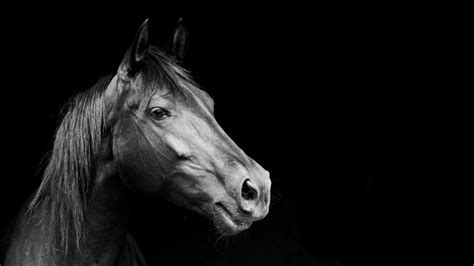 Animal Black And White Wallpaper - animals black and white 10 free wallpaper