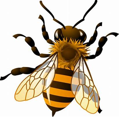 Bee Honey Clipart Bees Drawing Transparent Clipground