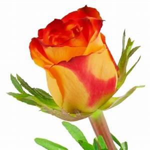 Gelb Rote Rosen Bedeutung : einzelne gelb rote rose ~ Whattoseeinmadrid.com Haus und Dekorationen