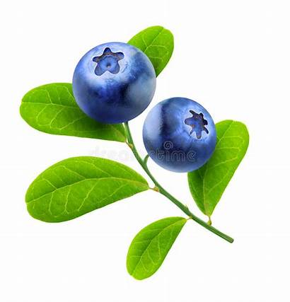Blueberries Blueberry Isolated Background Leaves Branch Fresh
