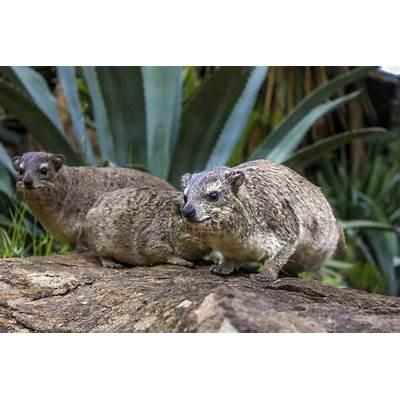 Rock hyrax - Wikipedia