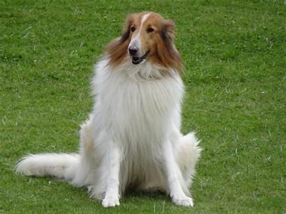 Collie Rough Breeds Dog Breed Tuesday Colly