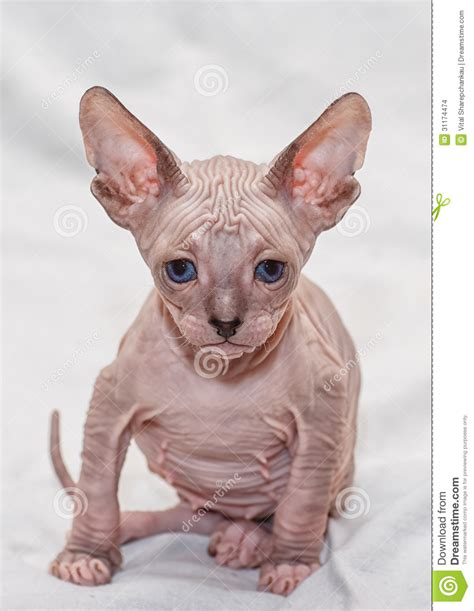 donskoy sphynx stock images image