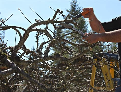 pruning apple trees in autumn how to prune apple trees beyond the chicken coop