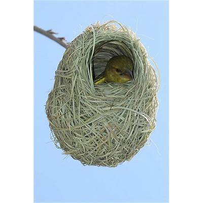 Baby African Weaver Bird in Nest - South Africa Eastern