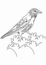 Crow Coloring Pages American Crows Flicker Printable Drawing Colouring Northern Bird Lowrider Template Sketch Tattoo Hawk Tailed Common Adults 860px sketch template
