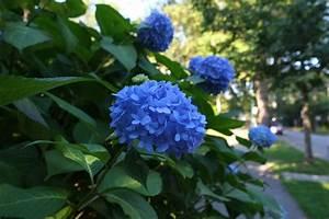 Sind Hortensien Winterhart : hortensie diese sorten gedeihen im schatten ~ Lizthompson.info Haus und Dekorationen