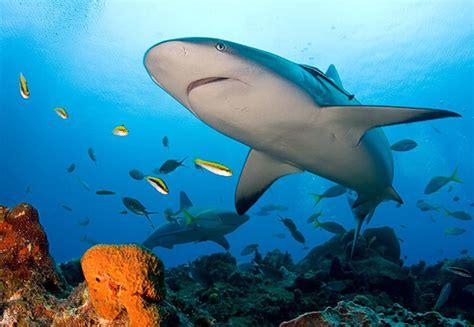 coral reef sharks arent apex predators research china