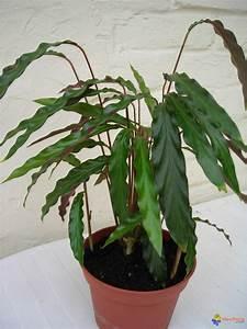 Plante Suspendue Intérieur : photo plante d 39 int rieur calathea ~ Teatrodelosmanantiales.com Idées de Décoration