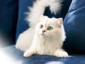 turkish cat turkish angora the of animals