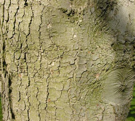 Alter Botanischer Garten In München by Kaukasisk L 195 182 Nn 29831 Swedish Common Name Acer