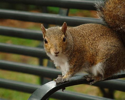 sor snjab squirrel pictures   picture